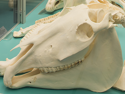 Veterinary Anatomy Collection