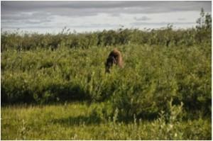Muskox (Ovibos moschatus) grazing in the tundra close to Kytalyk (Photo: M. Schaepman, July 2013).