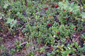 Vaccinium vitis-idea berry collection (Photo: M. Iturrate, August 2013).